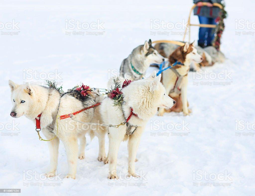 Sledding with husky dogs stock photo
