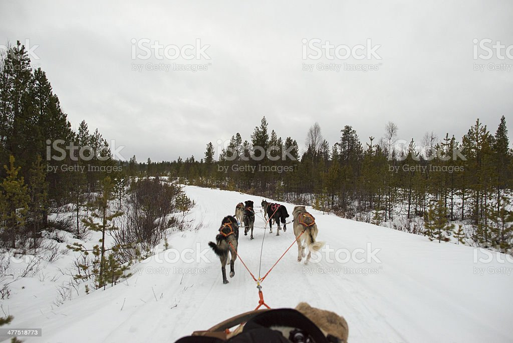 sledding with sled dog in lapland in winter time royalty-free stock photo