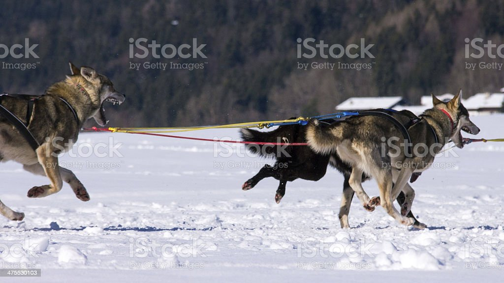 Sleddog race stock photo