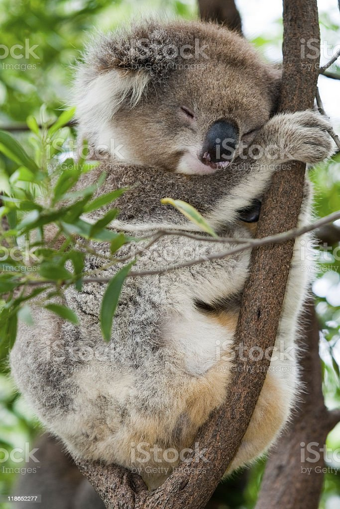 Sleep Koala royalty-free stock photo