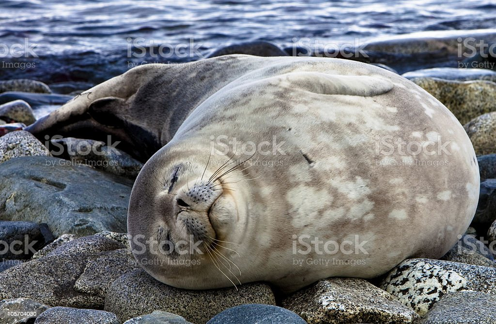 Sleep seal, Half Moon Island, Antarctica stock photo