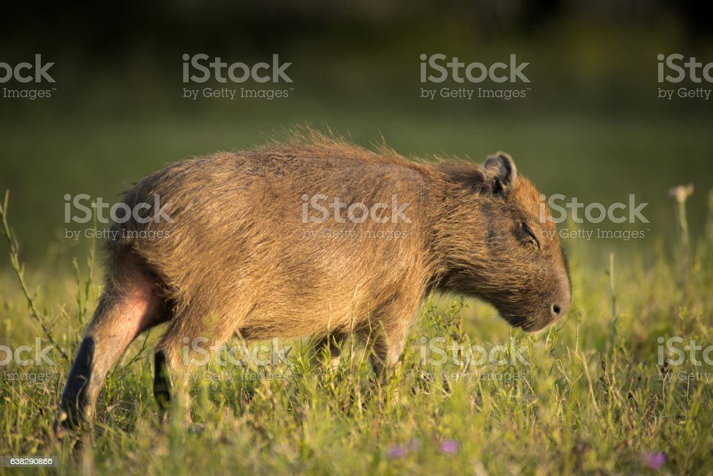 sleep walking young capybara stock photo