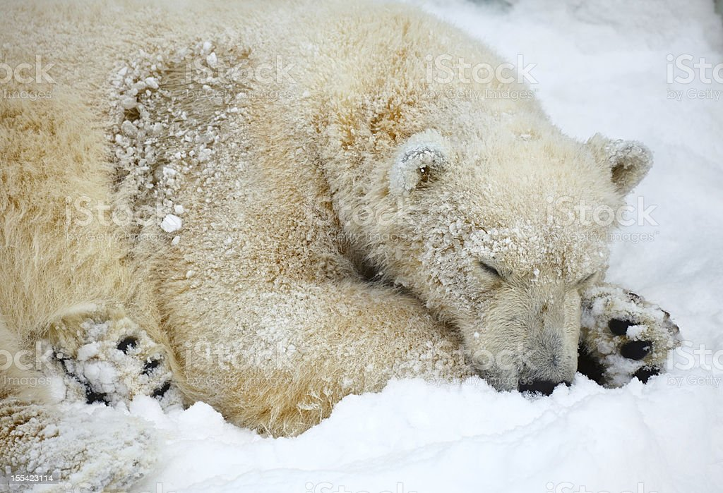 Sleepeng polar bear. stock photo