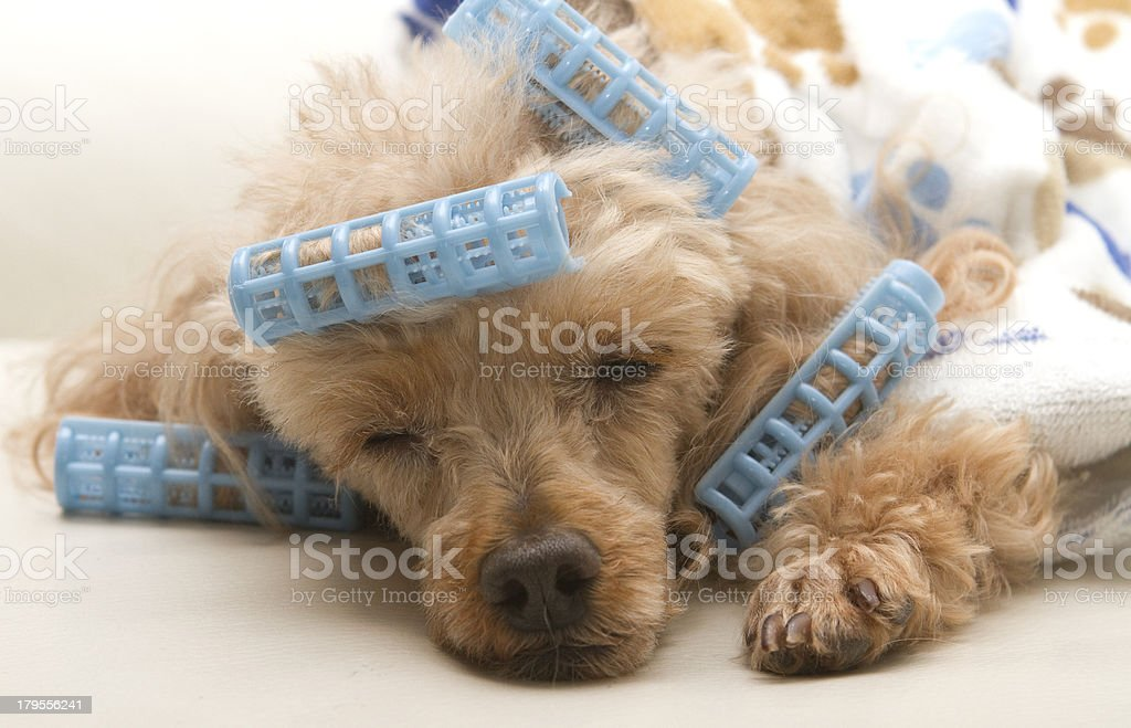 Sleeping After Primping royalty-free stock photo