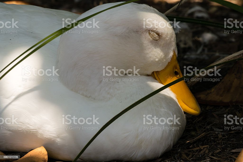 sleeping American Pekin Duck stock photo