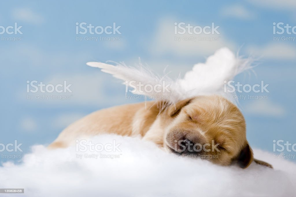 'Sleeping Angel' new born puppy sleeping in clouds stock photo