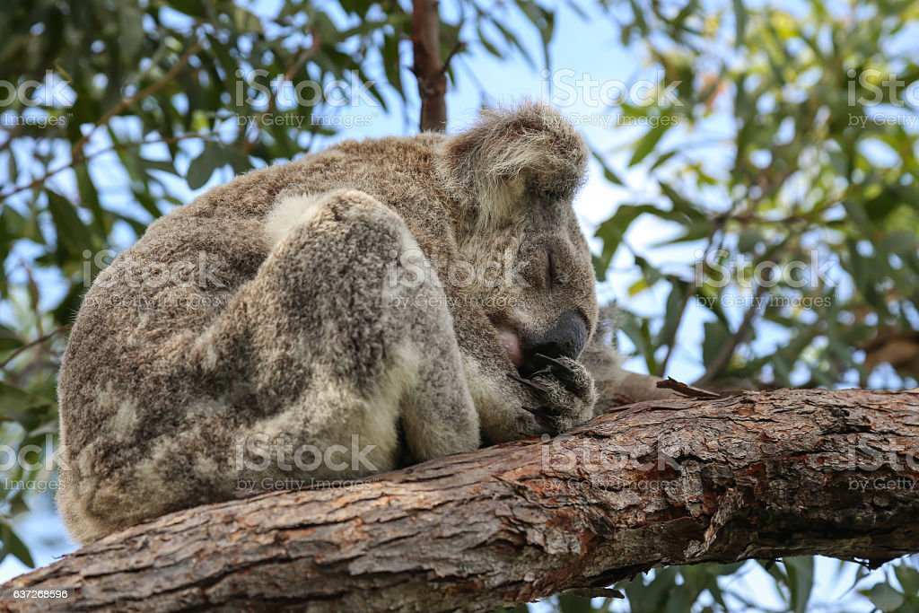 Sleeping Australian koala bear stock photo