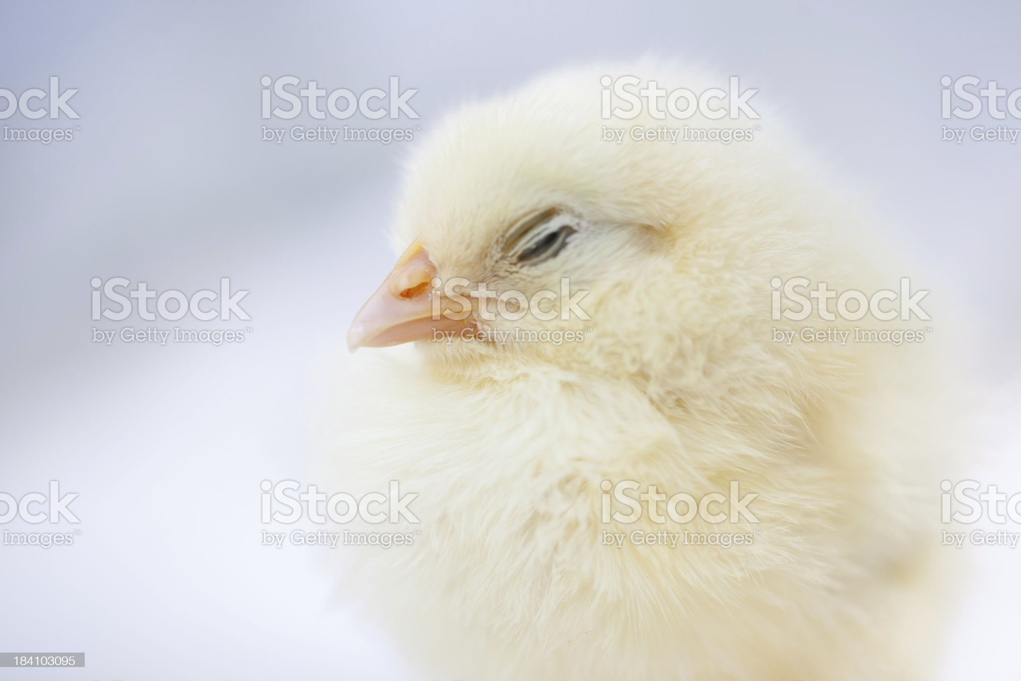 Sleeping baby chicken royalty-free stock photo