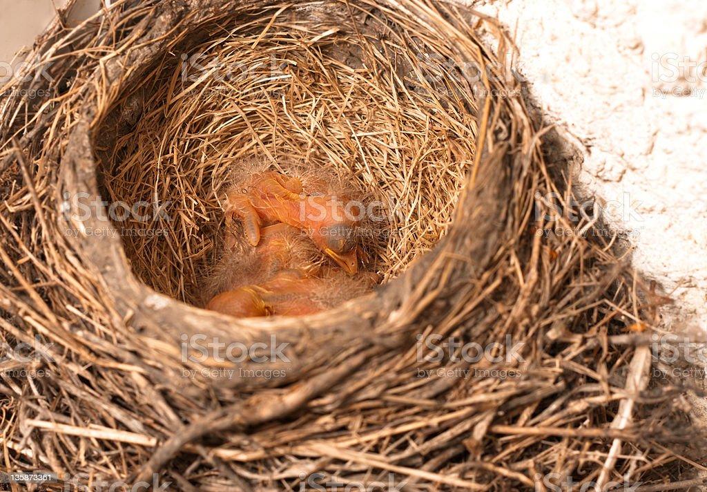 Sleeping baby Robins royalty-free stock photo
