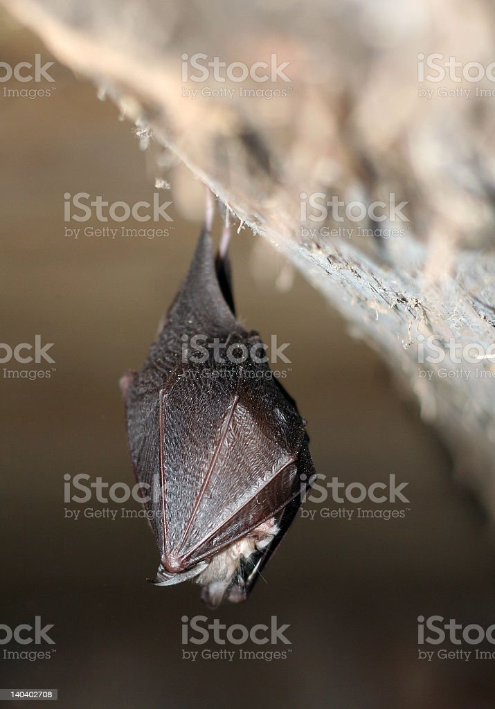 Sleeping bat royalty-free stock photo