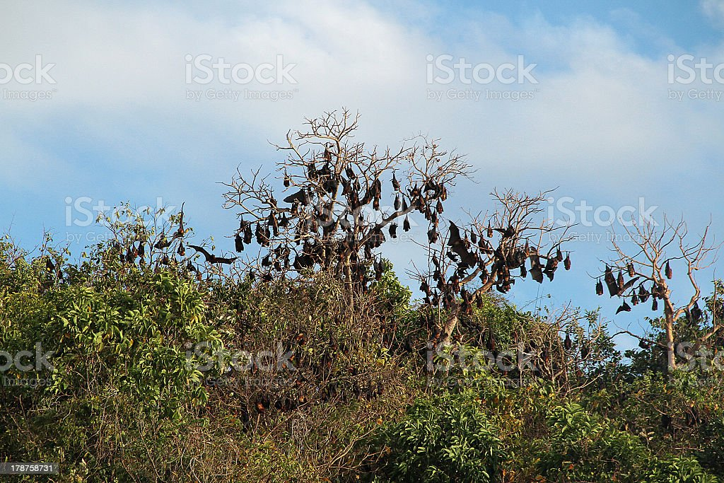Sleeping bats in The Philippines stock photo