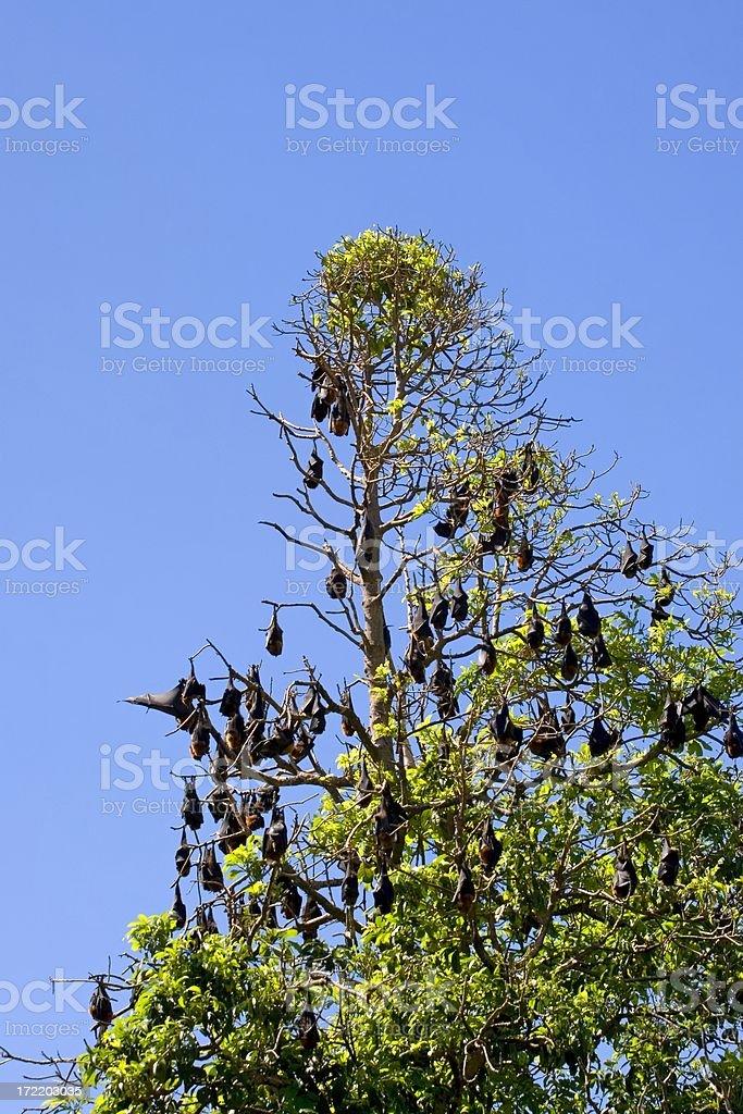 Sleeping bats stock photo