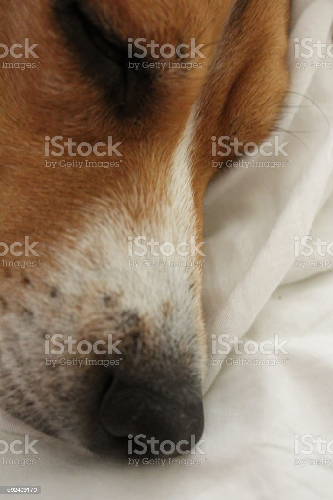 Sleeping beagle stock photo