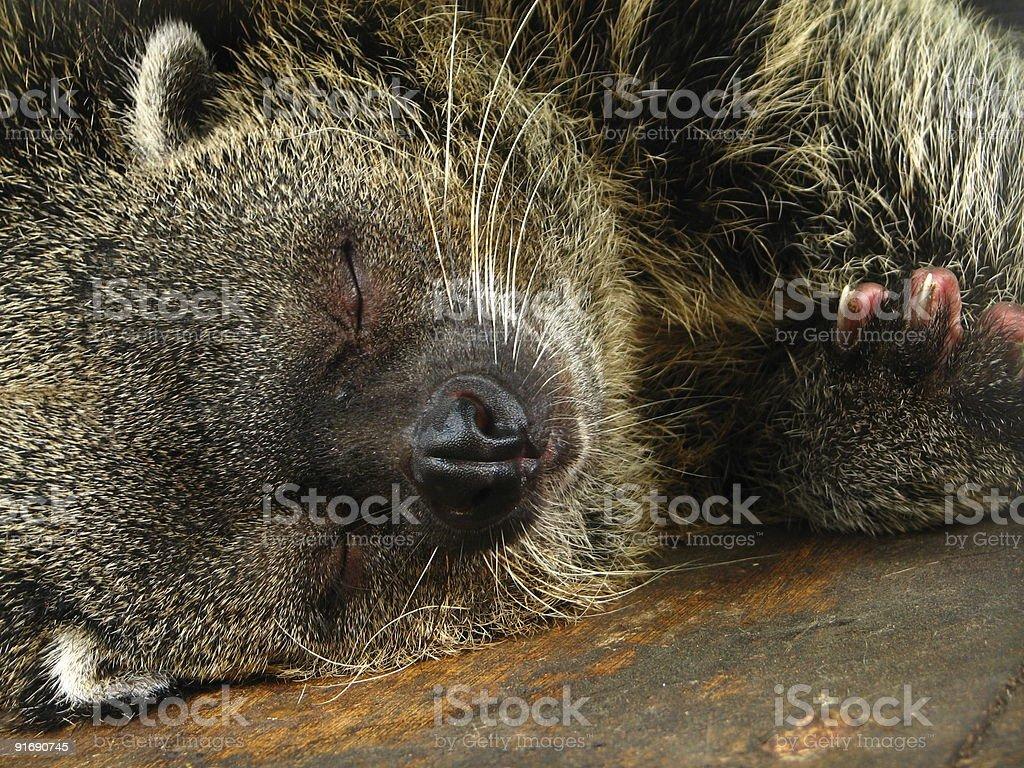 Sleeping Bearcat stock photo