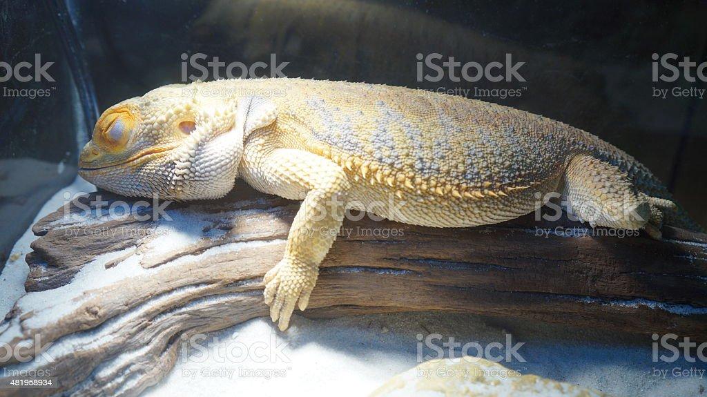 Sleeping Bearded Dragon stock photo