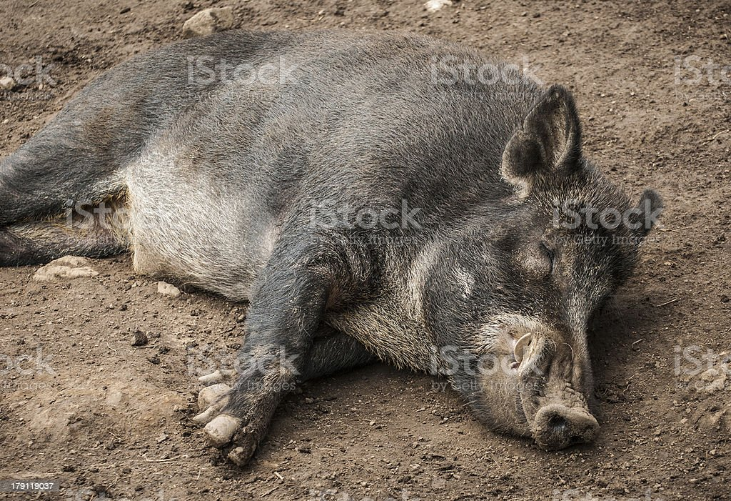 Sleeping Boar royalty-free stock photo