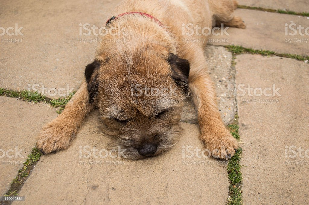 Sleeping Border Terrier Dog on a Path royalty-free stock photo