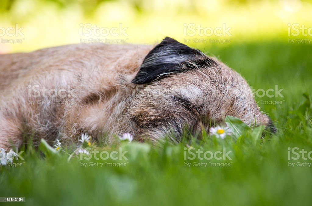 Sleeping Border Terrier Dog on Grass in Sun royalty-free stock photo