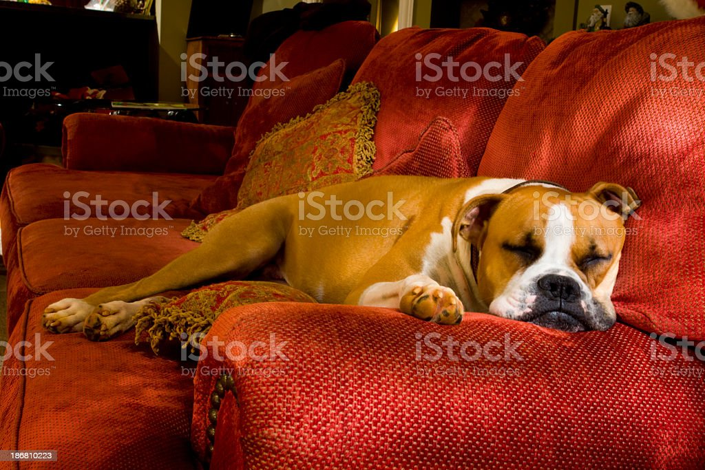 Sleeping Boxer Dog on a Couch stock photo
