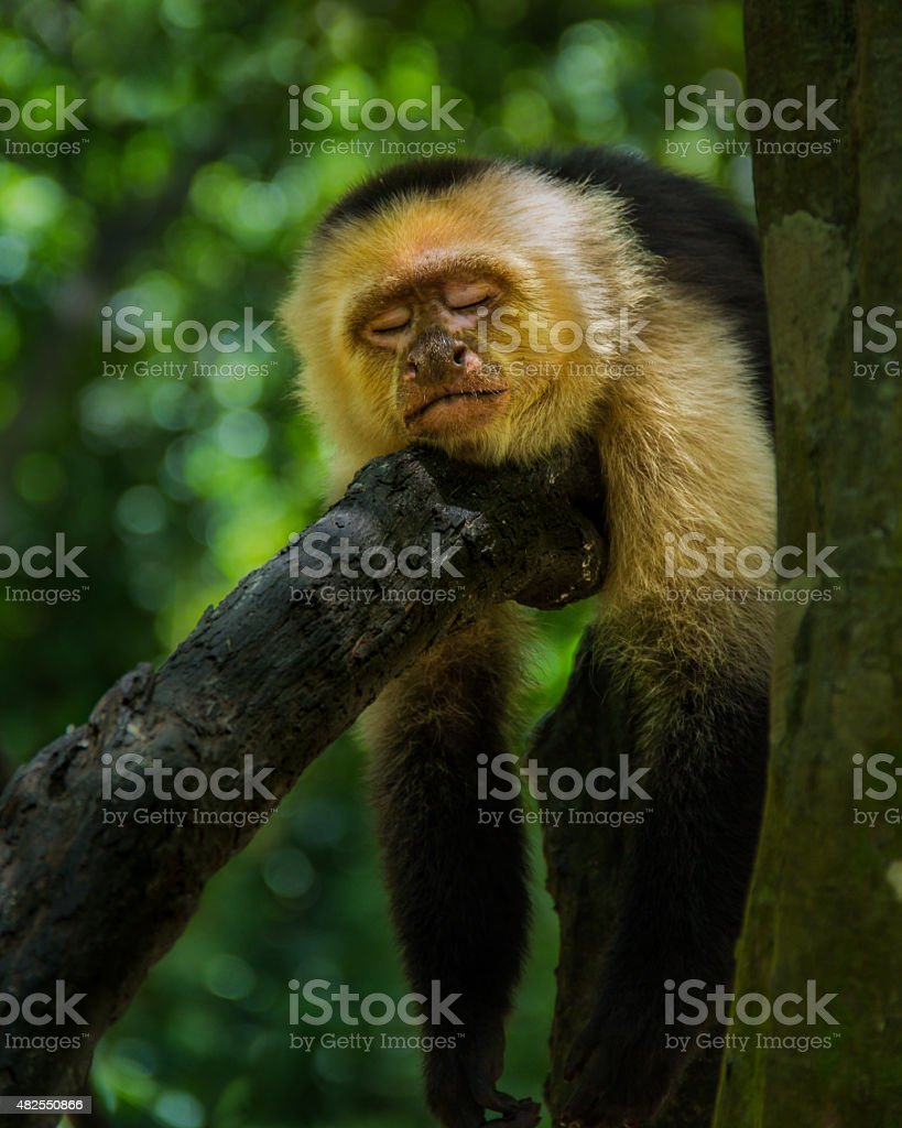 Sleeping Capuchin stock photo