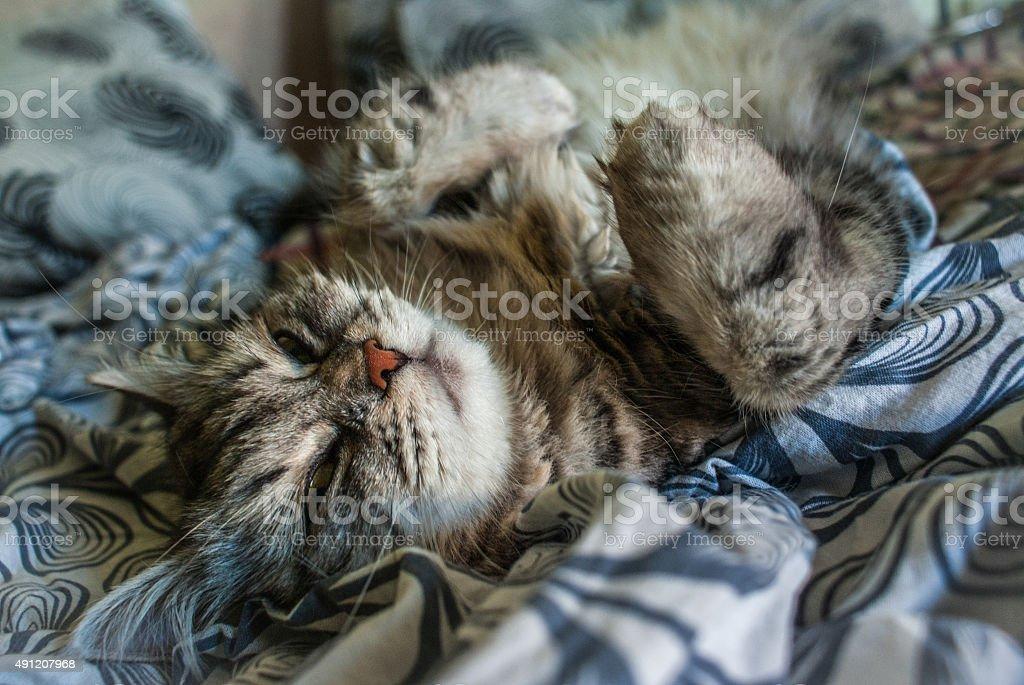 Chat à coucher photo libre de droits