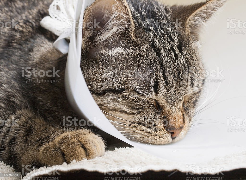 Sleeping cat with an Elizabethan collar royalty-free stock photo