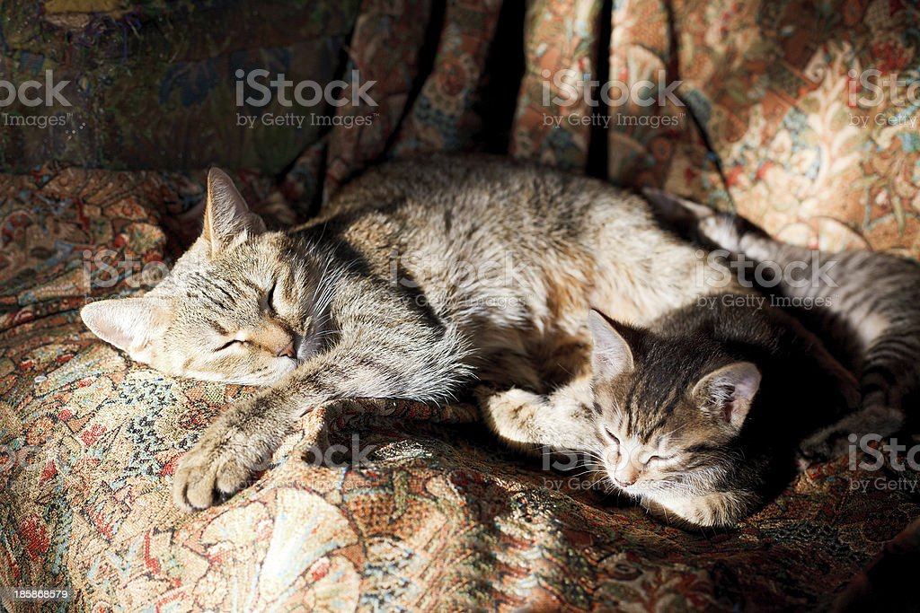 sleeping cat with kittens stock photo