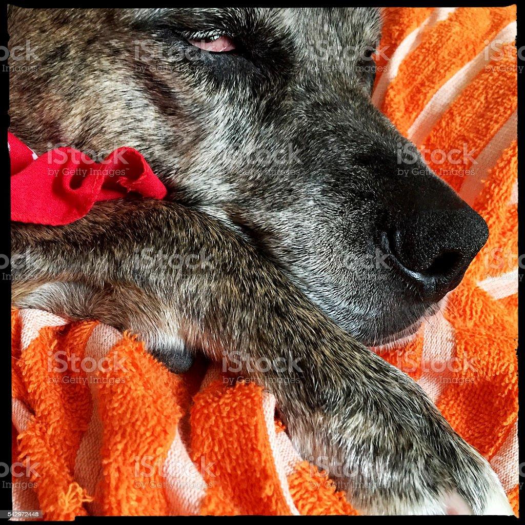 Sleeping Catahoula Pit Bull Mix Dog stock photo