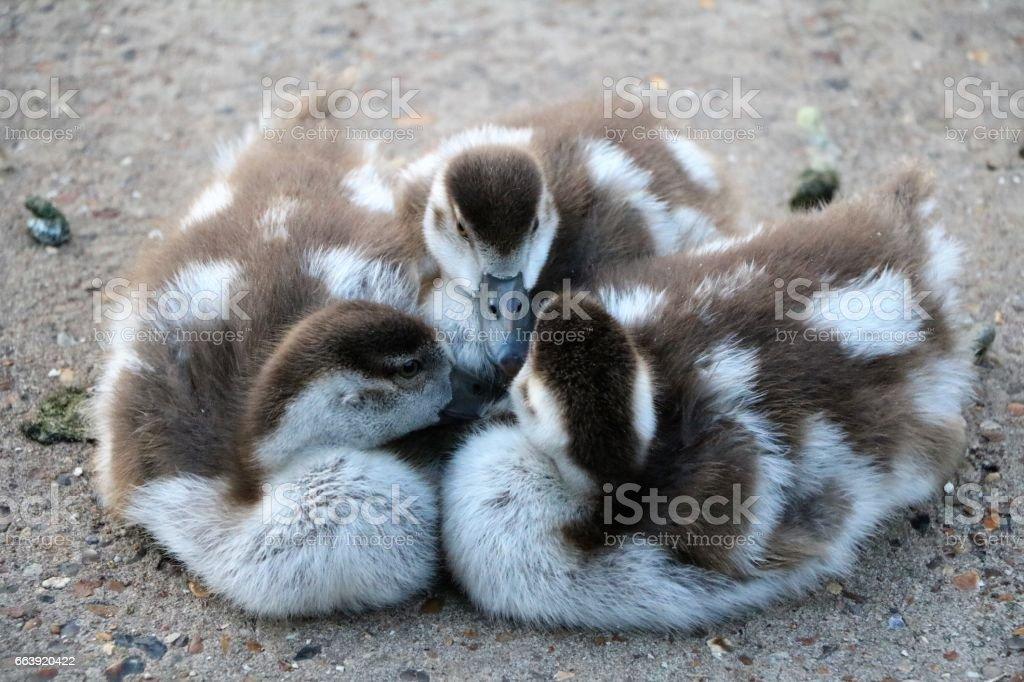 Sleeping Chicks of Alopochen aegyptiaca in Hyde Park London, United Kingdom stock photo