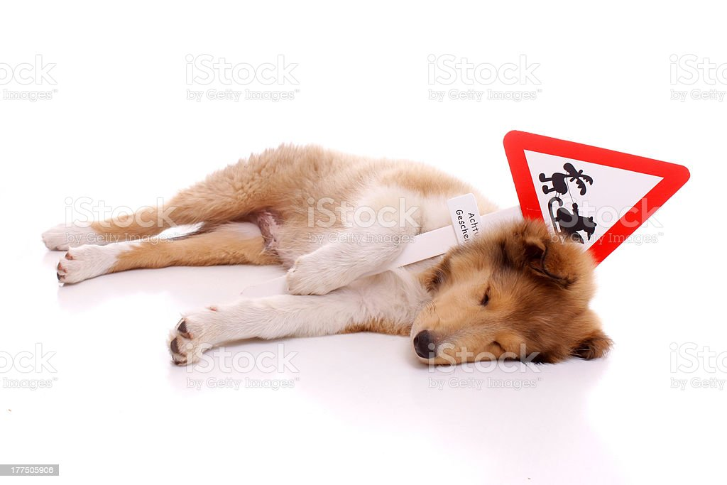Schlafender Collie Welpe mit Warnschild royalty-free stock photo