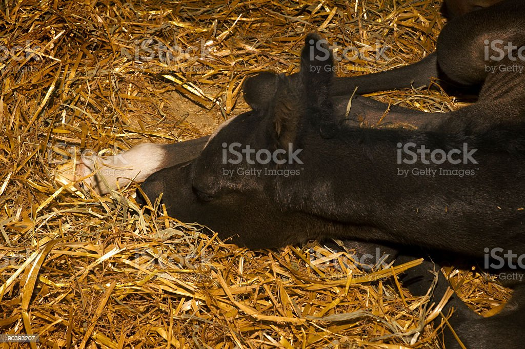 Sleeping Colt royalty-free stock photo