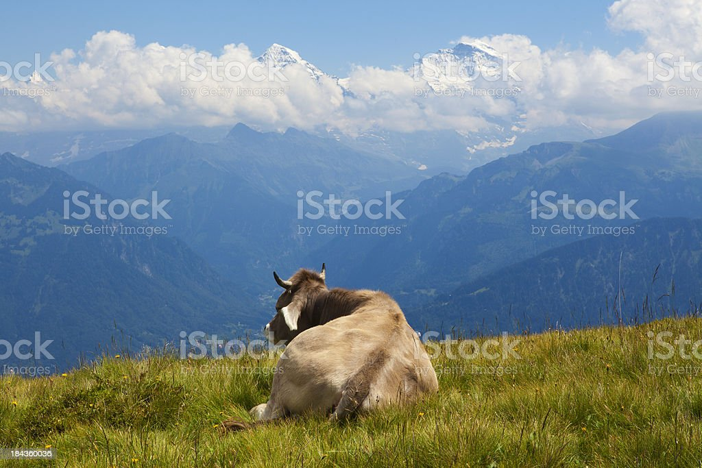 Sleeping cow royalty-free stock photo
