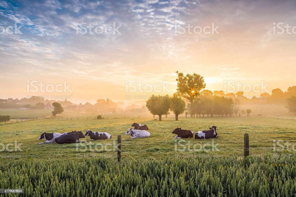 Sleeping cows at sunrise stock photo