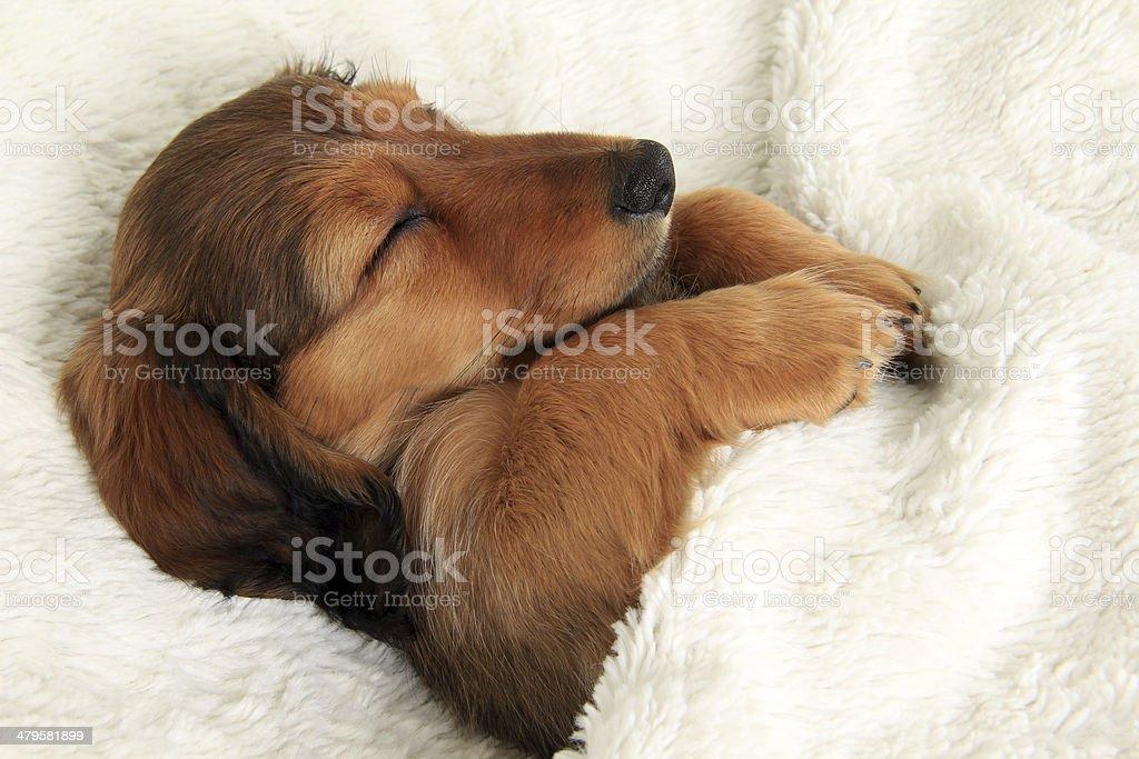 Sleeping dachshund puppy stock photo