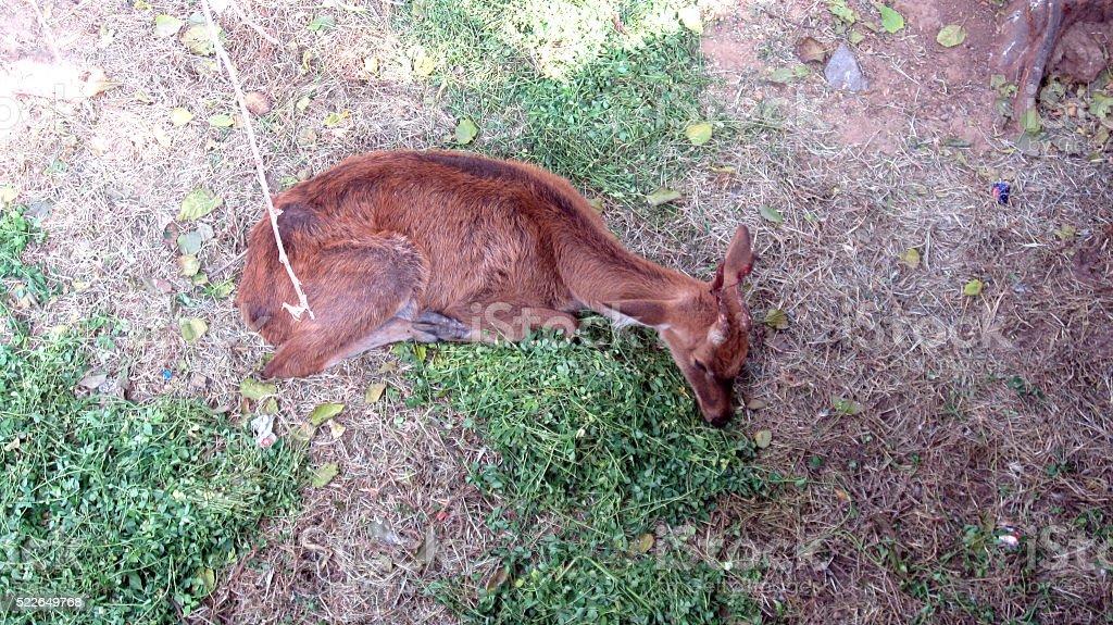 sleeping deeer in forest stock photo