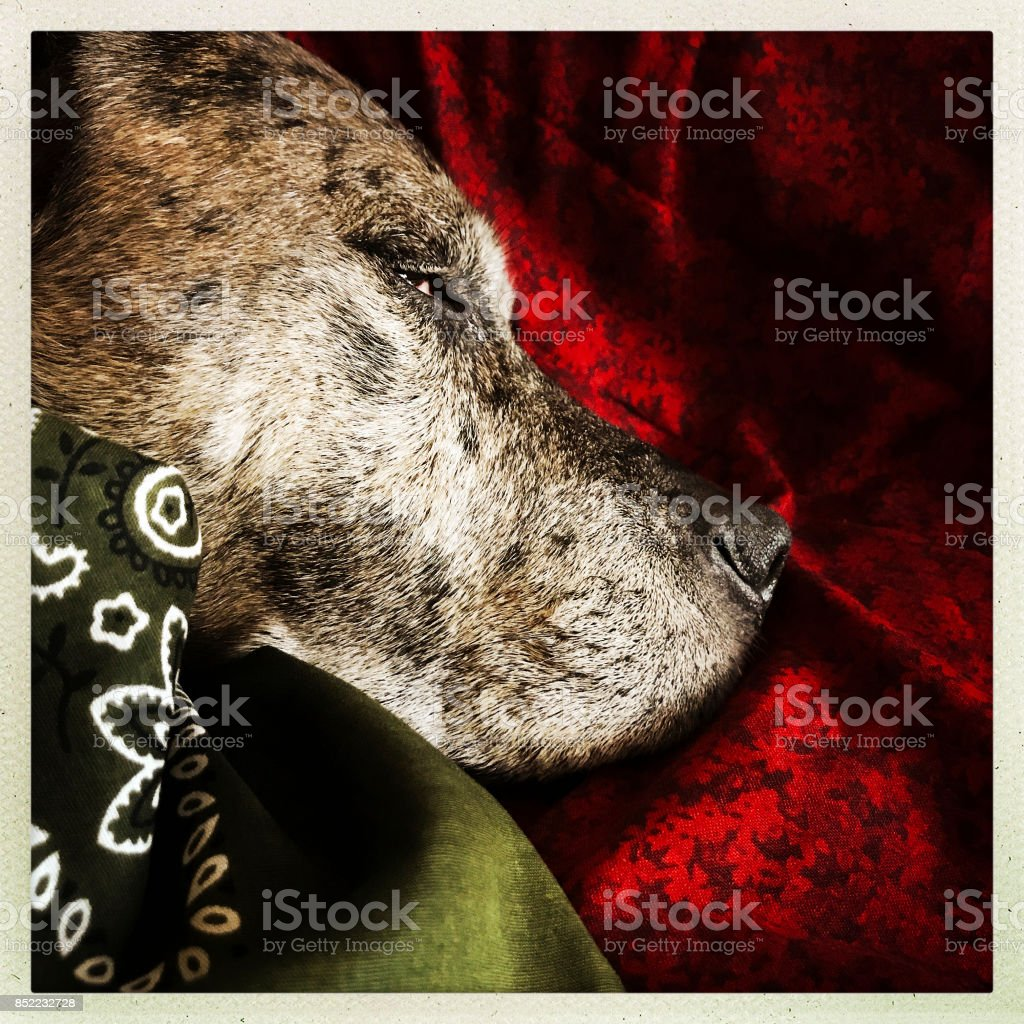 Sleeping Dog and Christmas Colors stock photo