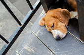 Sleeping dog with red swelling eyelid lining and eyes closed