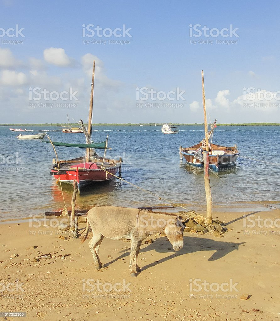 Sleeping donkey and dhow boats on the beach stock photo
