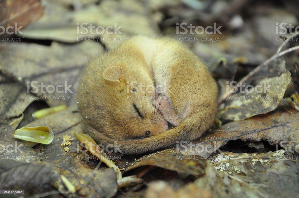 Sleeping dormouse stock photo