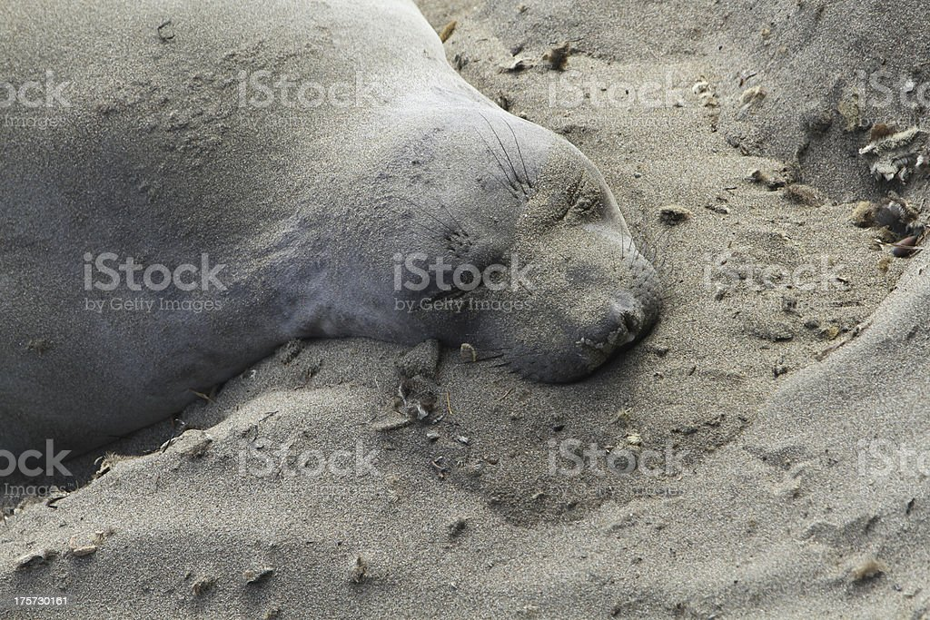 Sleeping Elephant Seal royalty-free stock photo