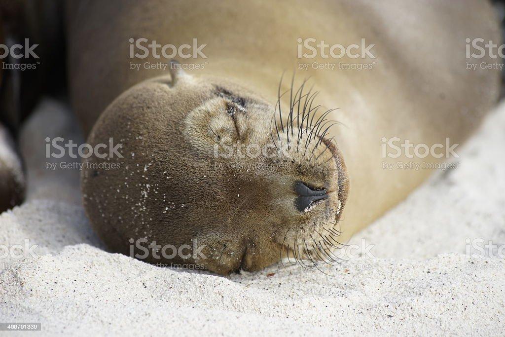 Sleeping Galapagos Sea Lion stock photo