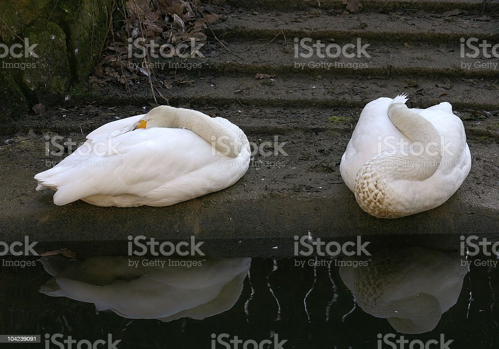 Sleeping Geese royalty-free stock photo