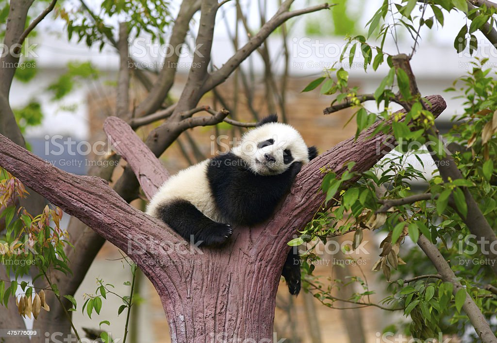 Sleeping giant panda baby stock photo