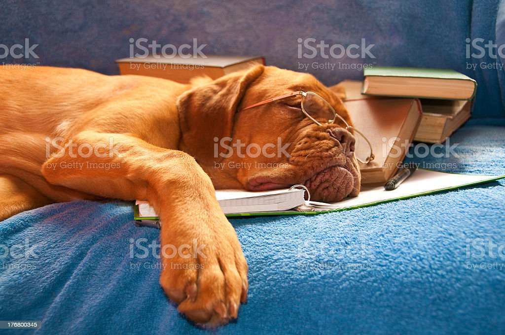 Sleeping golden brown dog with books and wearing glasses stock photo
