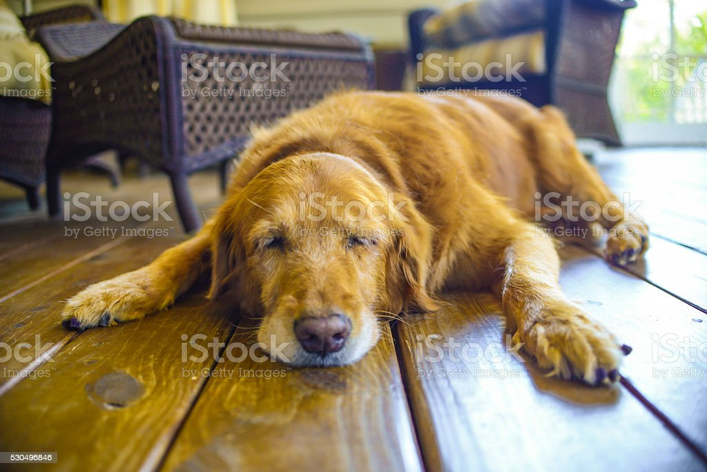 Sleeping Golden Retriever stock photo