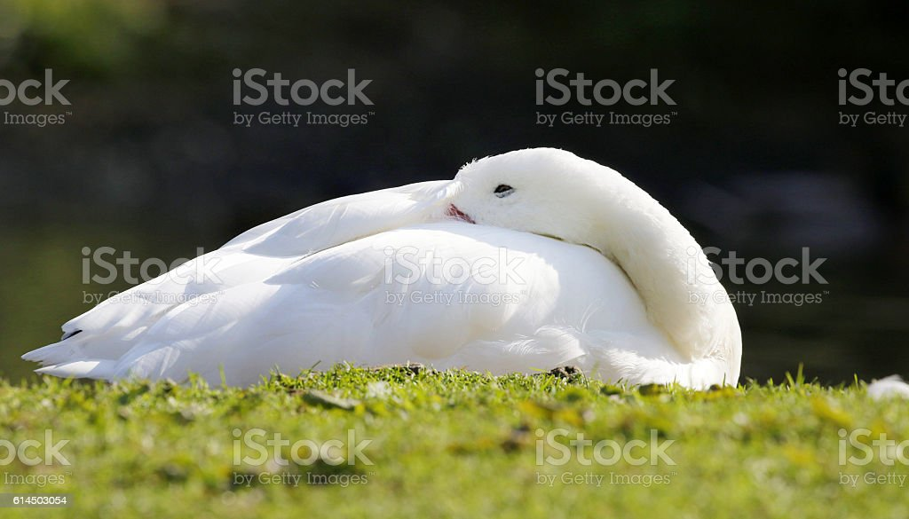 Sleeping goose stock photo