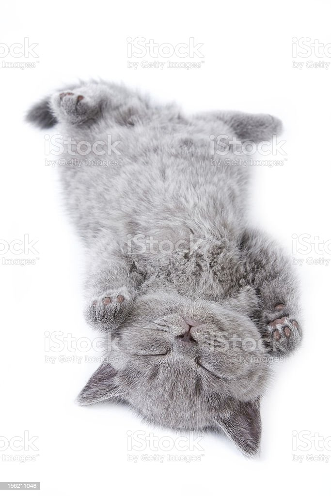 Sleeping gray British kitten on a white background stock photo