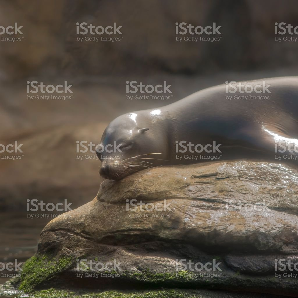 A sleeping Harbor Seal stock photo