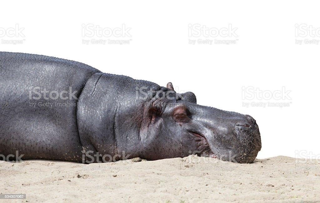 Sleeping hippo isolated on white stock photo