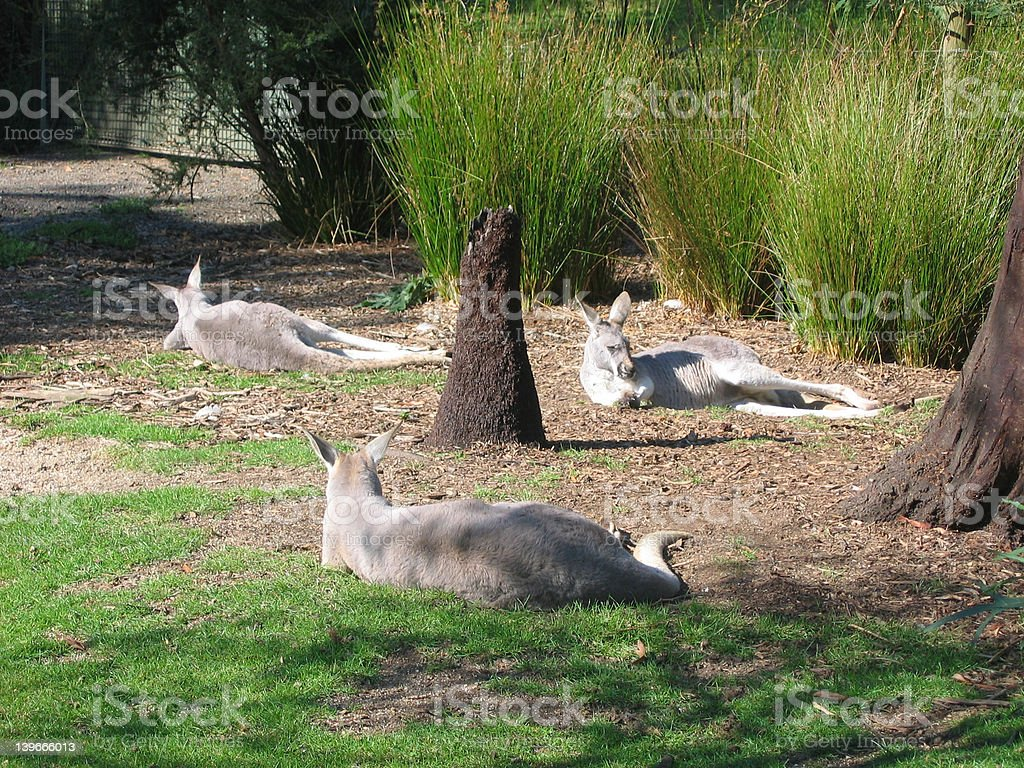 sleeping kangaroos stock photo